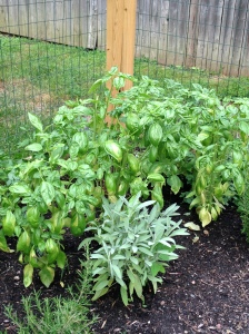 Basil jungle.